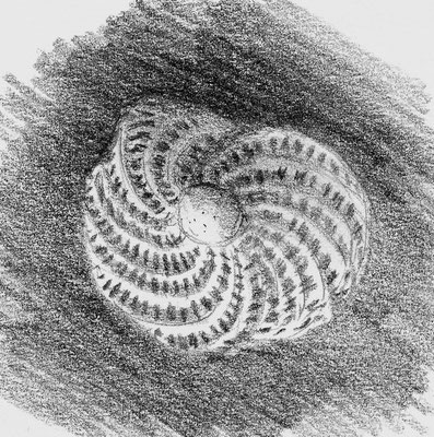 Elphidium crispum, foraminiphère