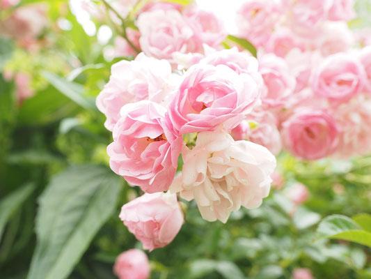 Im März vertragen Rosen einen Schnitt.