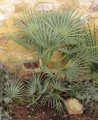 Chamaerops humilis var. argentea ausgepflanzt im Burgund, Juli 2011