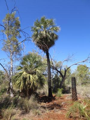 Livistona alfredii, Millstream palm, habitat