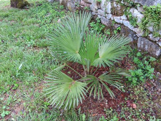 Trachycarpus wagnerianus im Burgund, Mai 2015