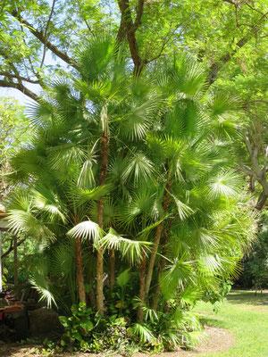 Acoelorrhaphe wrightii (Everglades Palme) iin En Gedi, Israel