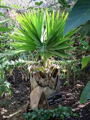 Sabal palmetto (Palmetto-Palme) im Botanischen Garten von Lyon