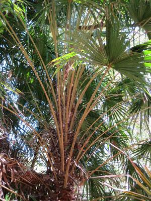 Livistona benthamii bei Ubirr