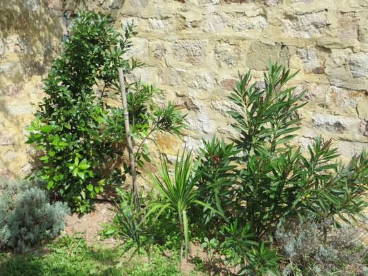 """Yucca aloifolia und Nerium oleander """"Atlas"""""""