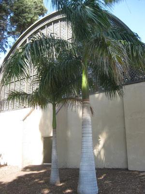 Roystonea regia, Balboa Park, San Diego