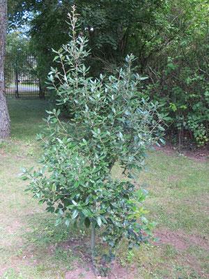Quercus ilex im Garten im Burgund