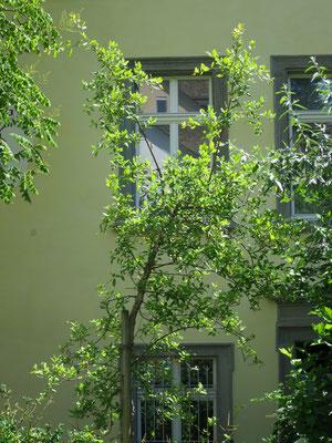 Quercus suber (Korkeiche) in Schaffhausen, Juni 2015