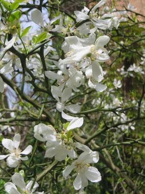 Dreiblättrige Bitterorange (Poncirus trifoliata) in Blüte