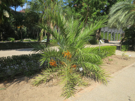 Phoenix andamanensis