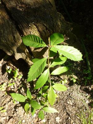 Quercus lanata, Juni 2013