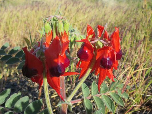 Wüstenerbse (Swainsona formosa)