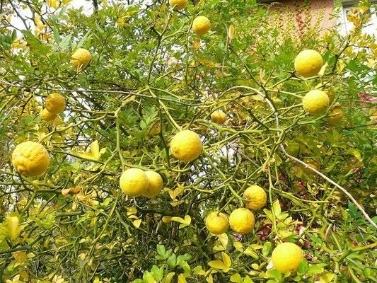 Reife Früchte von Poncirus trifoliata in Schaffhausen