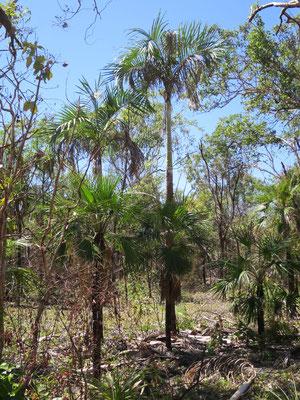 Hydriastele ramsayi (Hintergrund) und Livistona humilis (Vordergrund) bei Ubirr