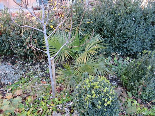 Trachycarpus fortunei in Schaffhausen, Dezember 2013