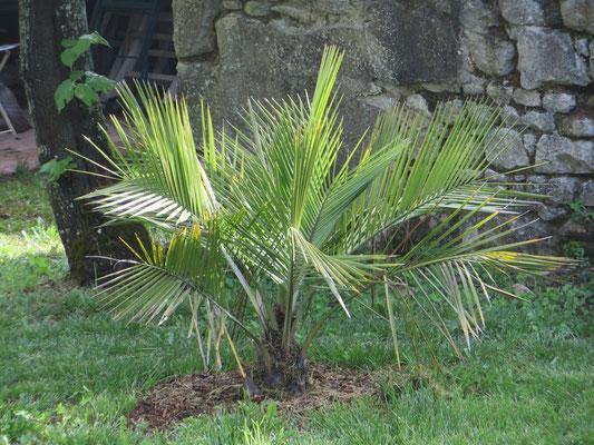 Jubaea chilensis Mai 2015