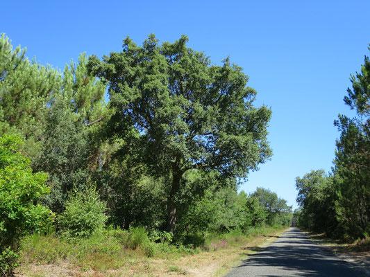 Quercus suber (Korkeiche) im nördlichsten Verbreitungsgebiet im Département Les Landes (Südwestfrankreich)