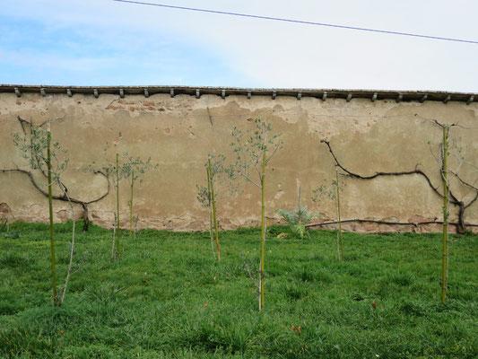 Kleiner Olivenhain