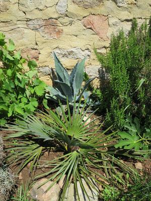 Trachycarpus nanus und Agave americana