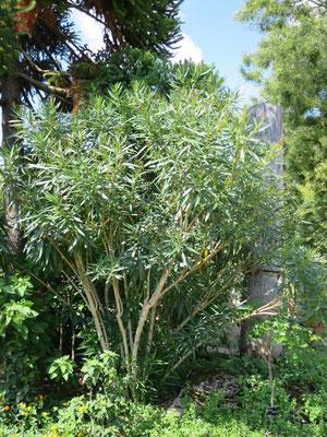 Nerium oldeander (Oleander) im Botanischen Garten von Lyon