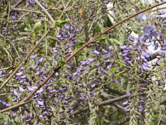 Blauregen, Glyzinie (Wisteria sinensis)