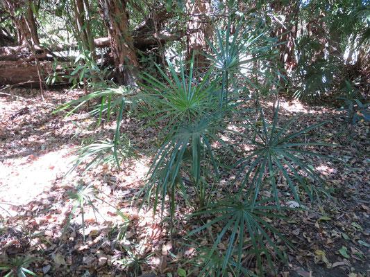 Jungpflanzen von Livistona benthamii bei Ubirr