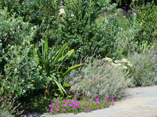 Rhapidophyllum hystrix (Nadelpalme), Lavendel und Delosperma cooperi (Mittagsblumen)
