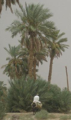 Phoenix dactylifera (Echte Dattelpalme) bei Erfoud, Marokko