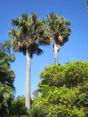 Sabal domingensis im Botanischen Garten in Valencia