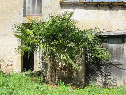 Trachycarpus fortunei, Chinesische Hanfpalme