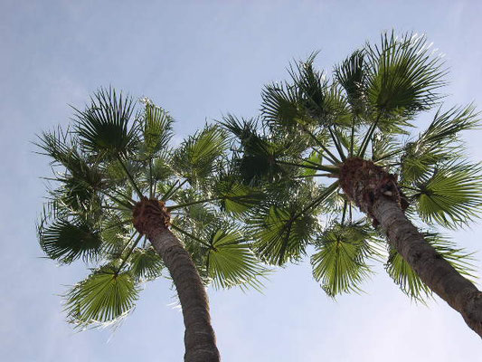 Washingtonia robusta, Barcelona, Spanien
