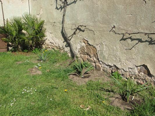 Neupflanzungen von 3 Sabal-Arten. S. x brazoriensis, S. uresana. S. sp. (Riverside)