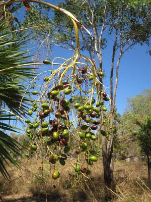 Fruchtstand von Livistona humilis, Sand Palm