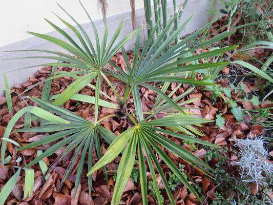 Trachycarpus geminisectus Ende November 2015