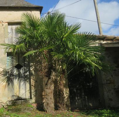 Trachycarpus fortunei (Chinesische Hanfpalme, Tessinerpalme)