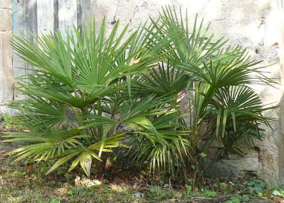 2x Trachycarpus fortunei im Oktober 2011