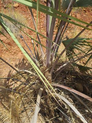 Livistona victoriae (Victoria River-Fächerpalme)