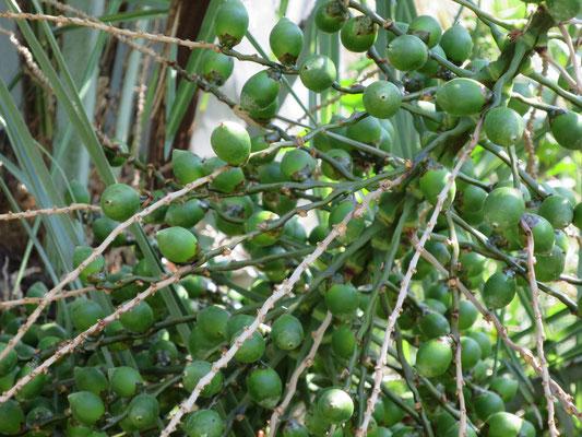 Butia eriospatha (Wollige Gelee-Palme) im Botanischen Garten von Lyon