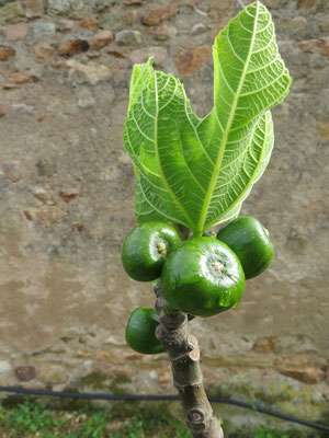 Feige, Ficus carica