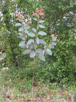 Eucalypts debeuzevillei, Schnee-Eukalyptus
