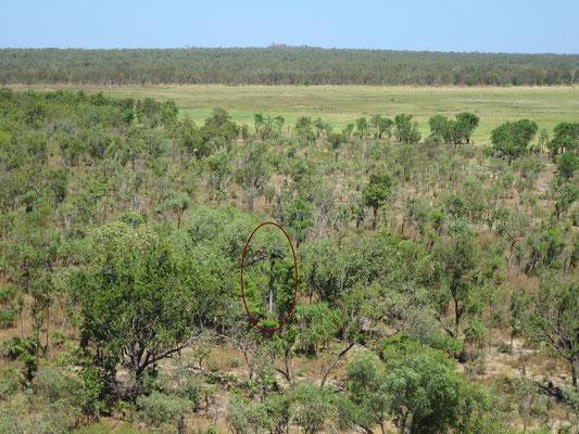Hydriastele ramsayi in lockerem Eucalyptus-Bestand bei Ubirr