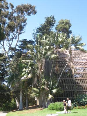 Howea forsteriana, Balboa Park, San Diego