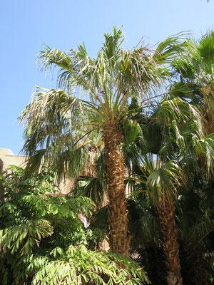 Livistona sp. in En Gedi, Israel
