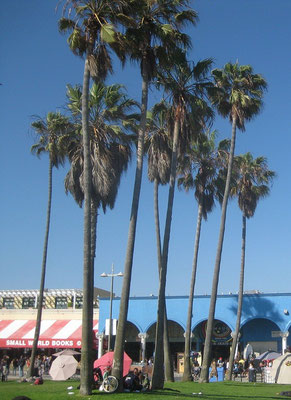 Washingtonia robusta, Venice Beach, Kalifornien, USA