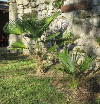 Trachycarpus wagnerianus (Wagners Hanfpalme) und Trachycarpus ukhrulensis (Manipur-Hanfpalme)