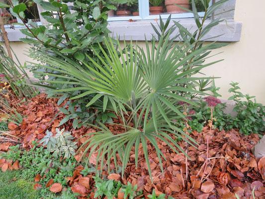 Trachycarpus princeps (new form, hybrid) im November 2016
