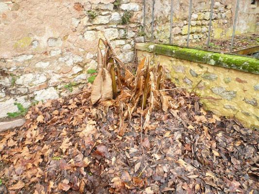 Musa basjoo (Japanische Faserbanane) anfangs Januar 2013. Die Blätter sind schon dem Frost zum Opfer gefallen