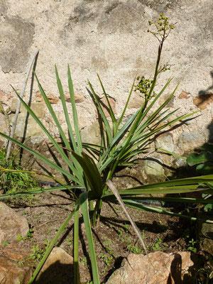 Sabal minor im Oktober 2012 mit 2 Fruchtständen