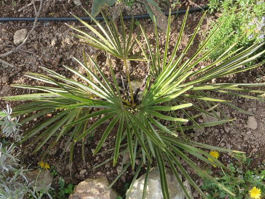 Trachycarpus nanus, mit winzigen Blütenständen