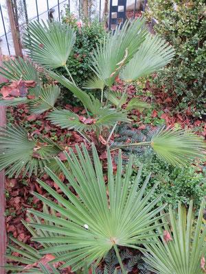 Trachycarpus wagnerianus in Schaffhausen im Januar 2015 nach -13 °C
